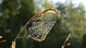 Aranha-Web do fim do verão na luz da manhã video estoque
