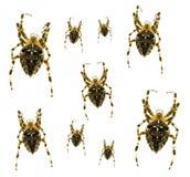 Aranhas com uma cruz Imagens de Stock