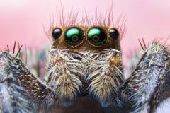 Aranhas de salto Foto de Stock