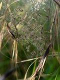 Aranhas do bebê chocando - cada o tamanho de uma cabeça de alfinete Sp de Pisaura Foto de Stock