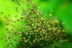 Aranhas minúsculas incontáveis Fotos de Stock Royalty Free