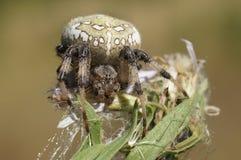 Aranhas na natureza Fotos de Stock Royalty Free