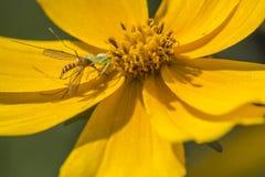 Aranhas predatórios Fotografia de Stock Royalty Free