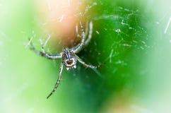 Aranhas tailandesas imagem de stock