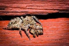 Aranhas tailandesas Foto de Stock