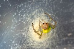 Yellow spider in the cobweb. Araniella cucurbitina in the cobweb Royalty Free Stock Photo