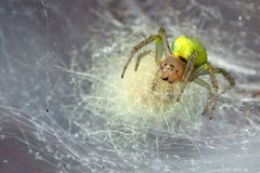 Yellow spider in the cobweb. Araniella cucurbitina in the cobweb Royalty Free Stock Photography