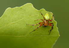 Araniella. Interesting green spider - male Royalty Free Stock Photos
