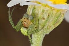 Araniella spider portrait Stock Photos