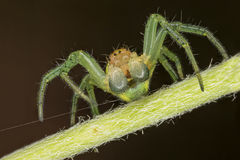 Araniella spider portrait Royalty Free Stock Photos