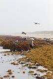 飞行在海草的海鸥在口岸Aransas,得克萨斯 免版税库存照片