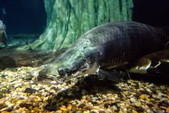 Arapaima fish, marine life. Big fish Royalty Free Stock Image