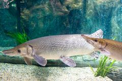 Arapaima gigas, known also as pirarucu, is a species of arapaima. Arapaima gigas, also known as pirarucu, is a species of arapaima native to the basin of the Royalty Free Stock Photography