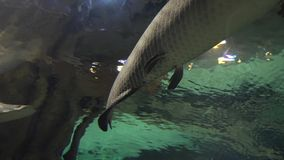Arapaima gigas in freshwater aquarium stock footage video stock video footage