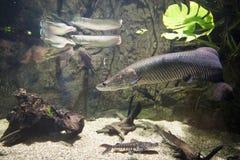Arapaima gigas - Giant arapaima. Large, freshwater fish - Arapaima gigas Royalty Free Stock Photo