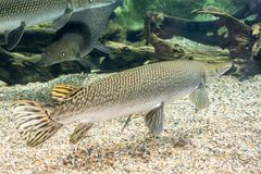 Arapaima gigas, known also as pirarucu, is a species of arapaima. Arapaima gigas, also known as pirarucu, is a species of arapaima native to the basin of the Stock Photography