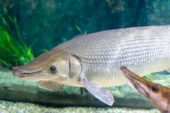 Arapaima gigas, known also as pirarucu, is a species of arapaima. Arapaima gigas, also known as pirarucu, is a species of arapaima native to the basin of the Stock Images