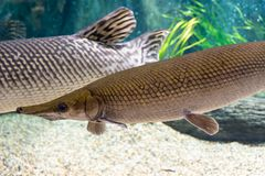 Arapaima gigas, known also as pirarucu, is a species of arapaima. Arapaima gigas, also known as pirarucu, is a species of arapaima native to the basin of the Royalty Free Stock Photo
