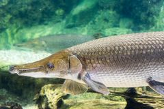 Arapaima gigas, known also as pirarucu, is a species of arapaima. Arapaima gigas, also known as pirarucu, is a species of arapaima native to the basin of the Royalty Free Stock Image