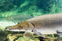 Arapaima gigas, known also as pirarucu, is a species of arapaima. Arapaima gigas, also known as pirarucu, is a species of arapaima native to the basin of the Royalty Free Stock Photos