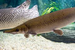 Arapaima gigas, known also as pirarucu, is a species of arapaima. Arapaima gigas, also known as pirarucu, is a species of arapaima native to the basin of the Stock Photo