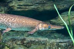 Arapaima, Pirarucu, endangered fish Royalty Free Stock Photography