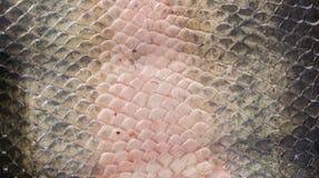 Arapaima Pirarucu skin, top view, background Royalty Free Stock Photos