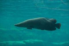 Arapaima (Sudis gigas). Arapaima (Sudis gigas), also known as the pirarucu. Wildlife animal Stock Photos