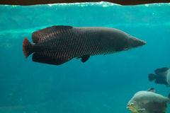 Arapaima (Sudis gigas). Arapaima (Sudis gigas), also known as the pirarucu. Wildlife animal Royalty Free Stock Image