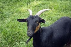 Arapana Goat Stock Photos