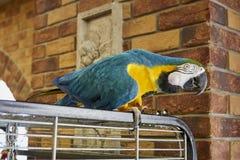 Arapapegaai op een tak met een bakstenen muurachtergrond Arapapegaai in het bureau Aronskelkenpapegaai Royalty-vrije Stock Foto
