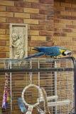 Arapapegaai op een tak met een bakstenen muurachtergrond Arapapegaai in het bureau Aronskelkenpapegaai Royalty-vrije Stock Foto's