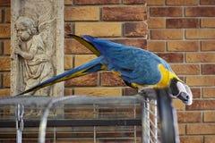 Arapapegaai op een tak met een bakstenen muurachtergrond Arapapegaai in het bureau Aronskelkenpapegaai Stock Fotografie