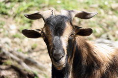Arapawa Goat. One of the rarest goat breeds in the world, the New Zealand Arapawa goat is, according to the American Livestock Breeds Conservancy, critically stock photo