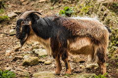 Arapawa Goat. Zealand Arapawa goat is one of the rarest goat breeds in the world and critically close to extinction Stock Photos