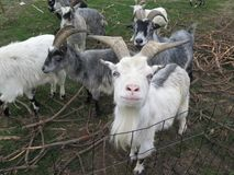 Arapawa Goats looking at camera in Danish farmyard. The New Zealand Arapawa goat breed can be traced back to the two goats left on Arapawa Island, as documented Stock Photography