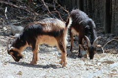 Arapawa Goats. A pair of Arapawa Goats one of the rarest goat breeds in the world, the New Zealand Arapawa goat is, according to the American Livestock Breeds stock images