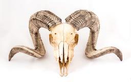 Arapawa-Schaf-Schädel auf Weiß Stockbilder