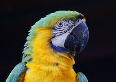Arara. An arara in Brazil sporting the country's national colors Stock Image