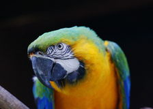 Arara. An arara or Brazilian parrot is sporting the national colors of Brazil Royalty Free Stock Image