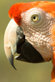 Arara parrot. Side portrait of orange arara parrot Stock Photo