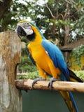 Arara azul & amarela Fotos de Stock Royalty Free