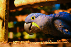Arara Azul, brazilian typical parrot. Arara Azul, parrot eating seeds in a park Royalty Free Stock Photo