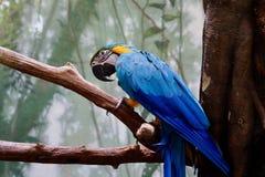 Arara Azul-dirigida imagens de stock