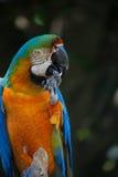 Arara azul e alaranjada Imagem de Stock