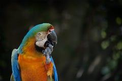 Arara azul e alaranjada Foto de Stock Royalty Free
