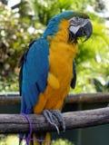Arara azul e amarela Imagens de Stock