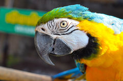 arara Azul-e-amarela Foto de Stock