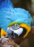 Arara azul e amarela Foto de Stock