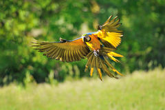 Arara azul-e-amarela de aterrissagem - ararauna das aros Fotos de Stock Royalty Free